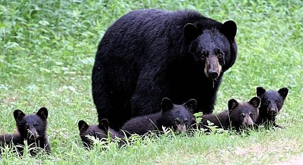 Mother Bear with Five Cubs